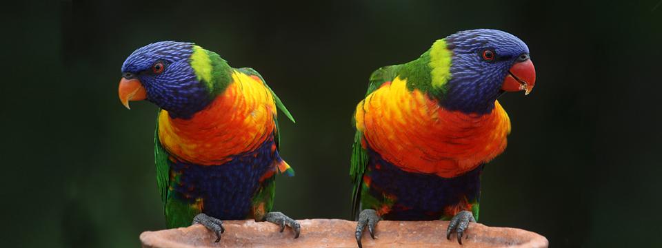 Papagaaien960x360